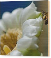 Bee Drinking The Nectar Of Saguaro Cactus Flower Wood Print