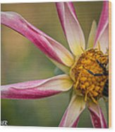 Bee Enjoying A Willie Willie Dahlia Wood Print
