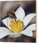 Bee Fly And Bloodroot Wood Print