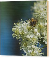 Bee On A Rowan Flower - Featured 3 Wood Print