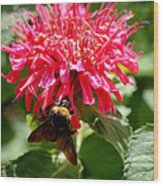 Bee On Bee Balm Flower Wood Print