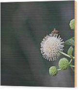 Bee On Buttonbush Wood Print