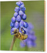 Bee On Grape Hyacinth Wood Print
