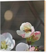 Bee On Japanese Quince Wood Print