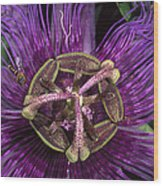 Bee On Passion Flower Brazil Wood Print by Pete Oxford