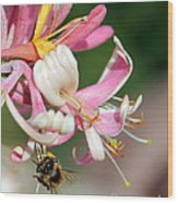 Bee On Pink Honeysuckle Wood Print
