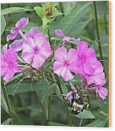 Bee On Pink Phlox Wood Print