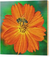 Bee On The Orange Cosmos 2 Wood Print