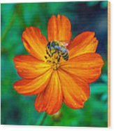 Bee On The Orange Cosmos Wood Print
