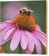 Bee Resting On Cone Flower Wood Print