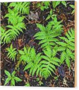 Beech Fern Colony Wood Print