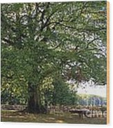 Beech Tree Britain Wood Print