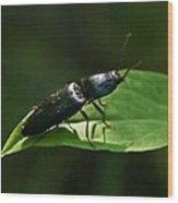 Beetle Elateridae Wood Print
