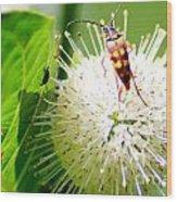 Beetle On Buttonbush Wood Print
