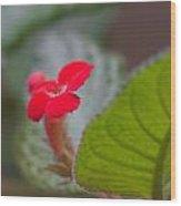 Episcia Flower Wood Print