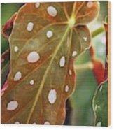Begonia Maculata 'wightii' Wood Print