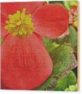 Begonia Volumia Wood Print
