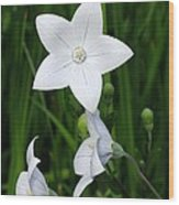 Bellflower - Campanula Carpatica Wood Print