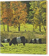Belted Galloway Cows Grazing On Grass In Rockport Farm Fall Maine Photograph Wood Print by Keith Webber Jr