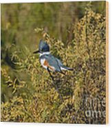 Belted Kingfisher Female Wood Print