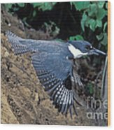 Belted Kingfisher Leaving Nest Wood Print