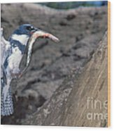 Belted Kingfisher With Prey Wood Print