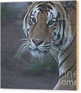 Bengal Tiger Wood Print by Brenda Schwartz