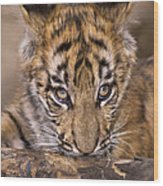 Bengal Tiger Cub And Peacock Feather Endangered Species Wildlife Rescue Wood Print
