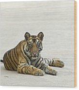 Bengal Tiger Cub On Road Bandhavgarh Np Wood Print