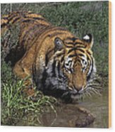 Bengal Tiger Drinking At Pond Endangered Species Wildlife Rescue Wood Print