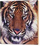 Bengal Tiger Eye To Eye Wood Print