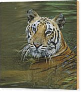 Bengal Tiger In Water Native To India Wood Print