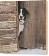 Bernese Mountain Dog At Log Cabin Door Wood Print