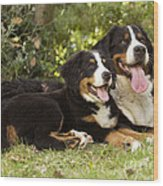 Bernese Mountain Dogs Wood Print
