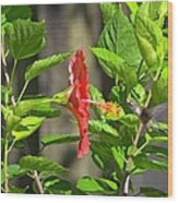 Best Close-up Green Hummingbird On Red Hibiscus Flower. Wood Print