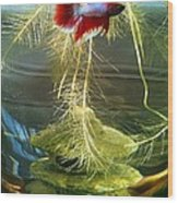 Betta Fish Moby Dick Wood Print