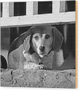 Beware - Guard Beagle On Duty In Black And White Wood Print by Suzanne Gaff
