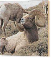 Big Bighorn Ram Wood Print