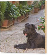 Big Black Schnauzer Dog In Italy Wood Print