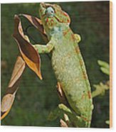 big chameleon of Madagascar 20 Wood Print