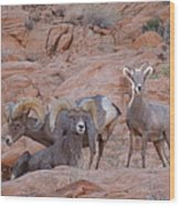 Big Horn Group Pose Wood Print