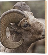 Big Horn Ram   #1503 Wood Print