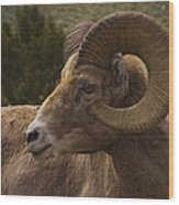 Big Horn Ram   #5098 Wood Print