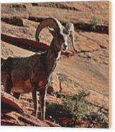 Big Horn Ram At Zion Wood Print