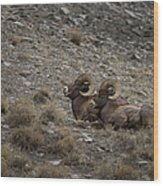 Big Horn Rams   #9157 Wood Print