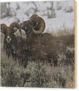 Big Horn Rams In Snow   #2484 Wood Print