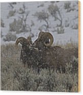 Big Horn Rams In The Snow   #2523 Wood Print