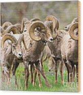 Big Horn Sheep Bachelors Wood Print