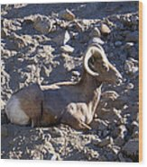 Big Horn Sheep Close Up Wood Print