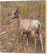 Big Horn Sheep Ewe Wood Print